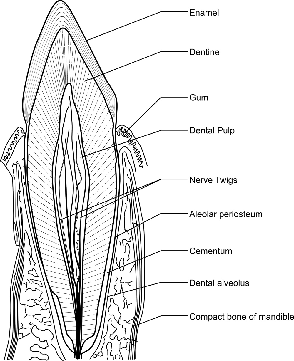 Dental devices tooth anatomy pooptronica